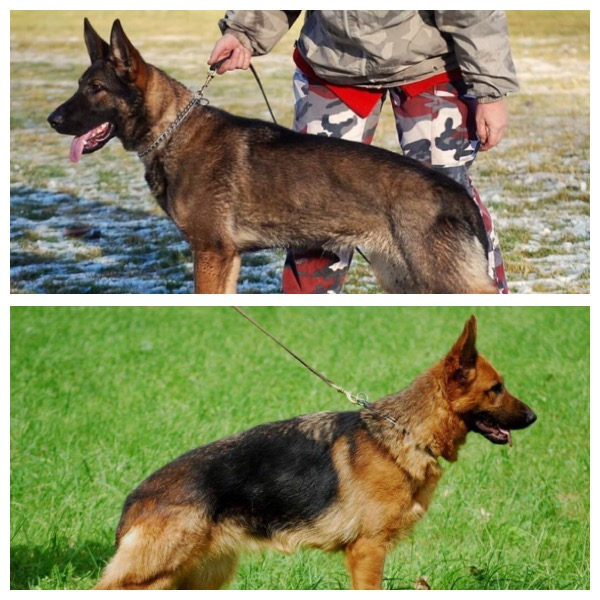 Bohemian Shepherds German Shepherd Czech Import Females - Dora german shepherd